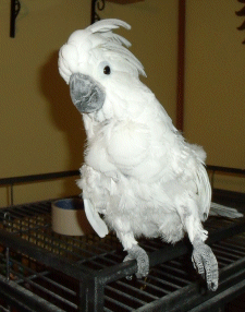 Daisy the Umbrella Cockatoo